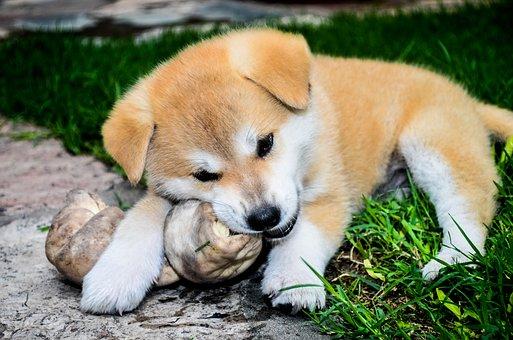 štěně akita